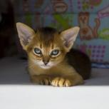 Абиссинские игривые ласковые котята, Сочи