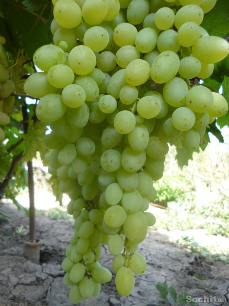 Сорт винограда находка фото и описание
